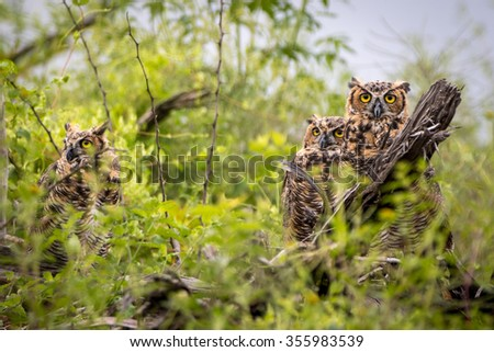 Parliament of Great Horned Owls - stock photo