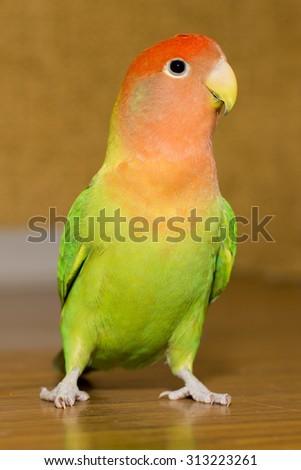 Parrot agapornis - stock photo