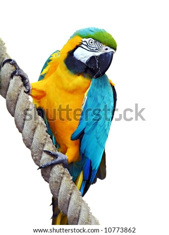Parrot, Blue-and-gold Macaw, isolated - stock photo