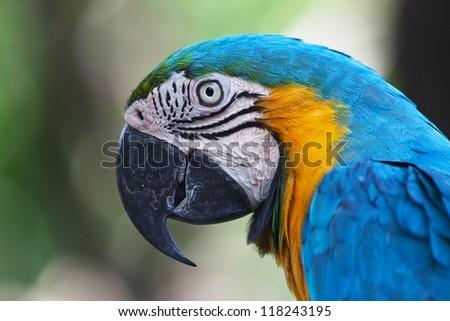 Parrot, Blue-and-yellow Macaw (Ara ararauna) - stock photo