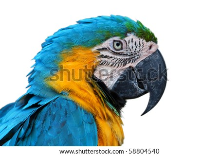 Parrot, Blue-and-yellow Macaw (Ara ararauna), isolated - stock photo