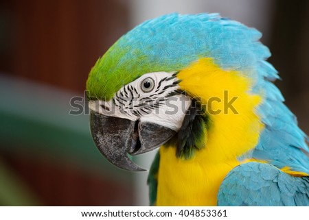Parrot blue and yellow macaw Blue and yellow macaw is a very beautiful parrot. In translation from Latin means blue gold. Live in Panama and in Peru and Brazil.
