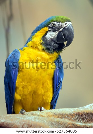 Parrot blue and yellow macaw Blue-and-yellow macaw is a very beautiful parrot. In translation from Latin means blue gold. Live in Panama and in Peru and Brazil.