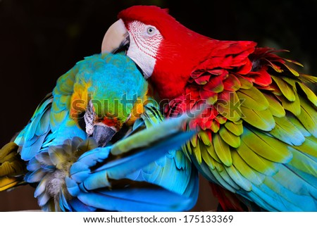 Parrot couple - Scarlat Macaw - stock photo