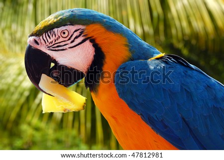 Parrot eating pineapple - stock photo