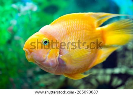 Parrot fish closeup - stock photo