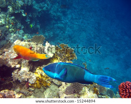 Parrot fishes - stock photo