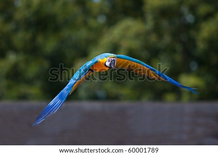 Parrot flying - stock photo