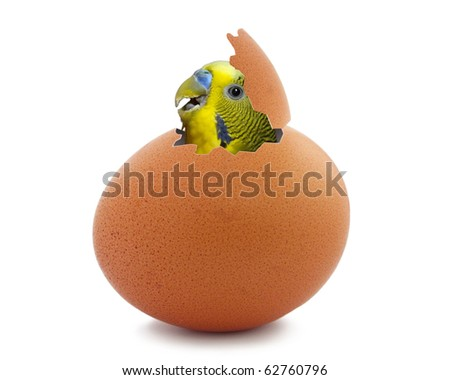 Parrot hatching from egg - stock photo