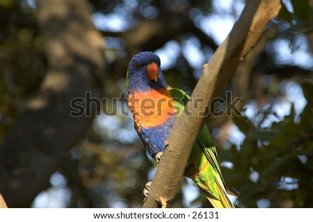 Parrot in Australia - stock photo