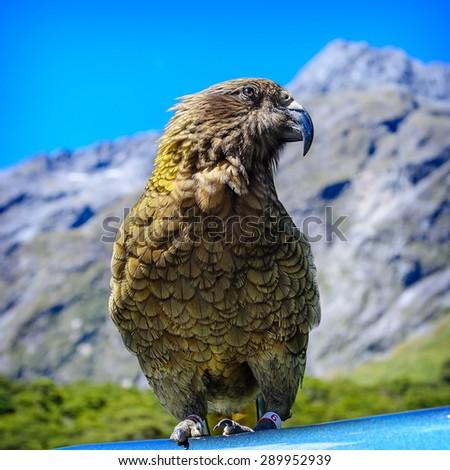 Parrot Kea Arthurs Pass National Park New Zealand - stock photo