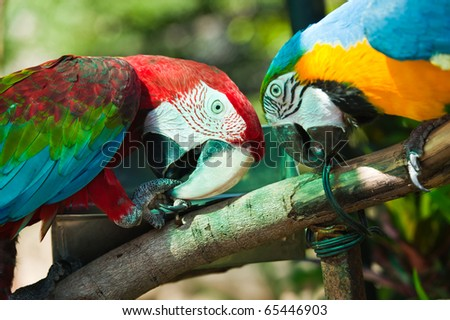 Parrot macaw couple - stock photo