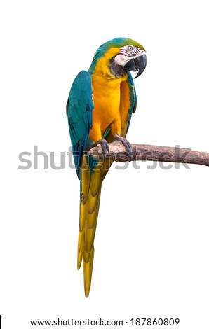 Parrot macaw isolate on white background.