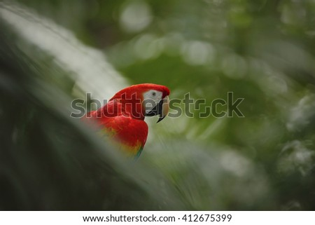 Parrot Scarlet Macaw Ara macao in dark green tropical forest. Big red parrot in the nature habitat, parrot hidden in the palm leaves. Parrot in Costa Rica - stock photo