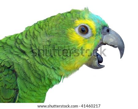 Parrot talking - stock photo