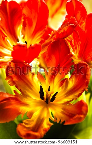 Parrot tulips - funny spring flowers with ruffled and twisted petals in bright colors - vertical image - stock photo