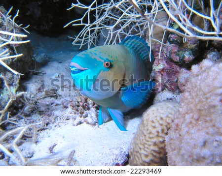 Parrotfish - stock photo