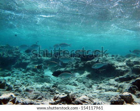 Parrotfish school in shallow water - stock photo