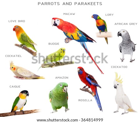 Parrots and parakeets education set, isolated on white background - stock photo