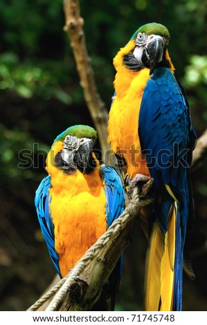 Parrots (Blue-and-yellow Macaw) sitting on a branch - stock photo