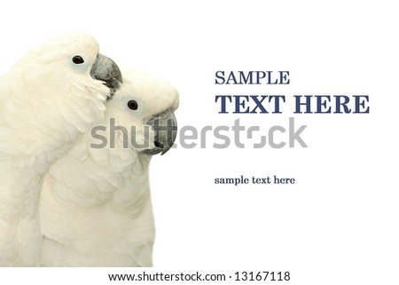 parrots duo isolated on white background - stock photo
