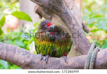 Parrots in love - stock photo