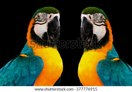 parrots with black background,parrots ,Parrots Court ,Colorful parrot ,beautiful parrots,parrots looking,parrots sitting,animals,big parrots - stock photo