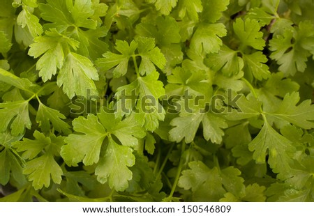 Parsley growing in a pot - stock photo