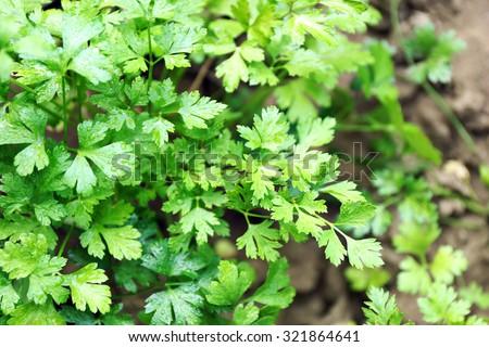 Parsley growing in garden - stock photo