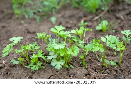 parsley in a close view on dark fertile rich soil - stock photo