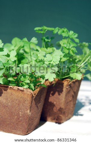 Parsley in peat pots - stock photo