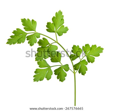 parsley isolated on a white background. - stock photo