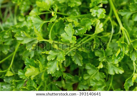 Parsley, leaves. Selective focus, close up, macro, background