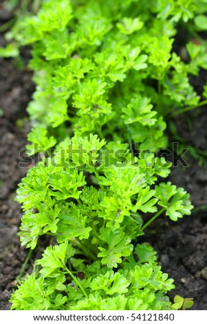 Parsley on bed in vegetable garden. Teleobjective shot with shalow DOF. - stock photo