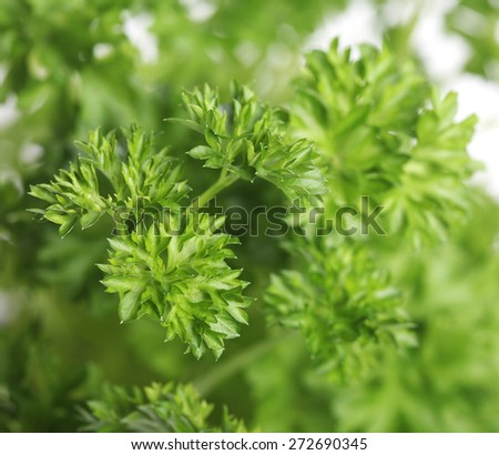 Parsley on white background - close-up