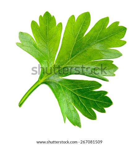 Parsley. one leaf isolated on white background. - stock photo