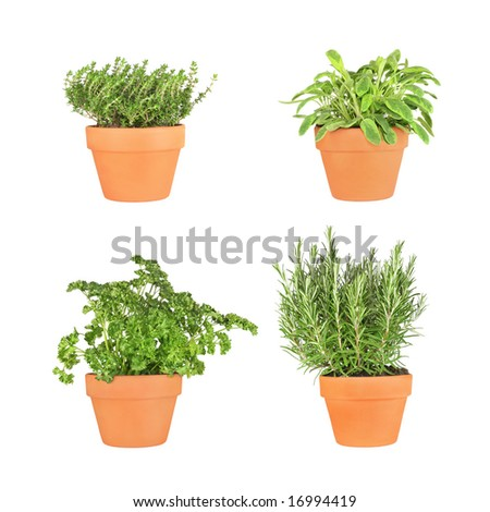 Parsley, sage, rosemary and thyme herbs growing in terracotta pots over white background.