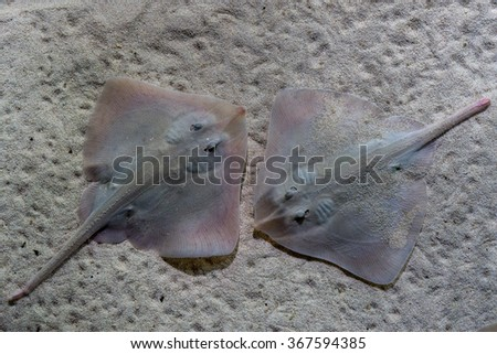parsnip stingray fish on sand underwater