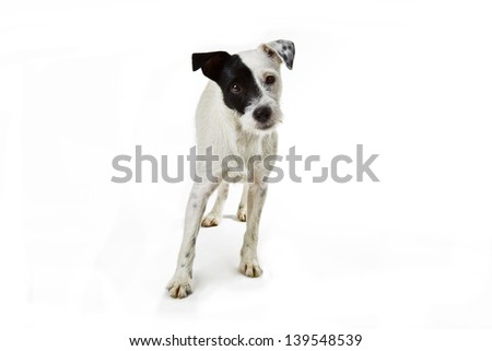 Parson Jack Russell - indoor shot on bright background