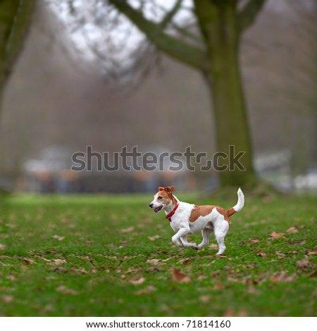 Parson Jack Russell terrier enjoying a run in the park. - stock photo