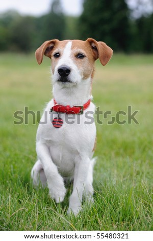 Parson Jack Russell Terrier lifting his paw - stock photo