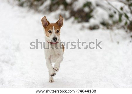 Parson Jack Russell Terrier running at full speed towards the camera in the snow, ears in the air - stock photo