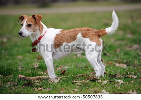 Parson Jack Russell Terrier standing in a park - stock photo