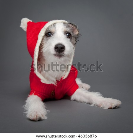 Parson Russel terrier in a fancy dress on grey
