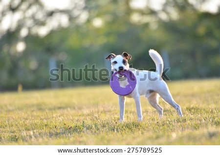 Parson Russell Terrier dog with purple frisbee. - stock photo