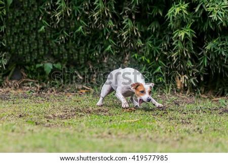 Parson Russell Terrier Female Dog Running  - stock photo