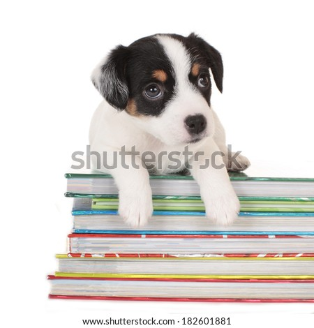 Parson Russell Terrier puppy sleeping - stock photo