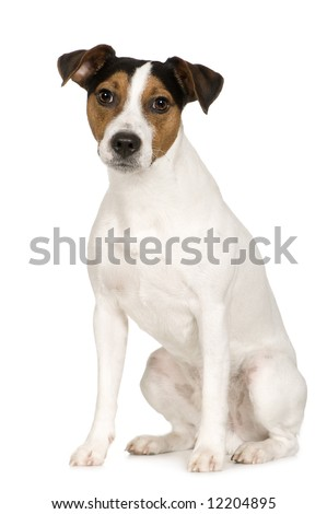 Parson Russell Terrier (2 years) in front of a white background