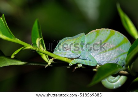 Parson's chameleon (Calumma parsonii) is a large species of chameleon on small branch waiting for insect prey. Nocturnal photo. Andasibe - Analamazaotra National Park, Madagascar wildlife
