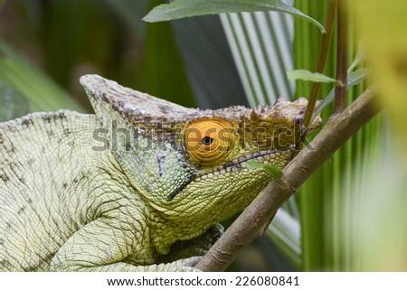 Parson's chameleon (Calumma parsonii) - Rare Madagascar Endemic Reptile - stock photo